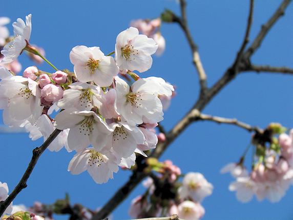 桜、八分咲き