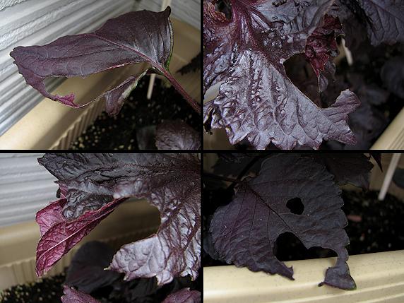 赤紫蘇の食害甚大