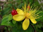 黄花に赤実のビヨウヤナギ