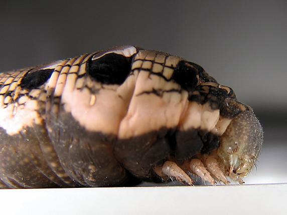 ベニスズメの幼虫を臨時確保