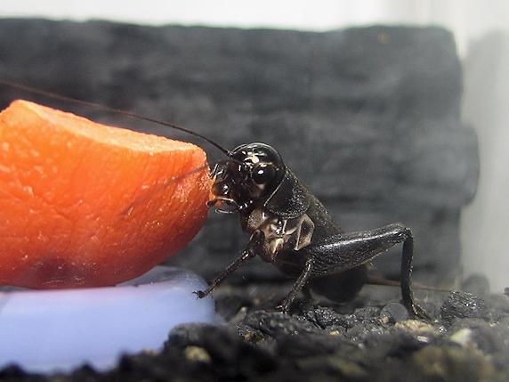 エンマコオロギ幼虫確保