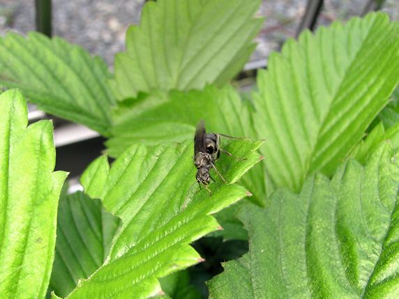 女王アリ、イチゴの葉に着地成功!