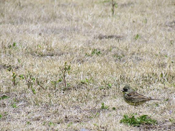 アオジという野鳥と遭遇