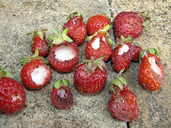 救済イチゴの最終収穫