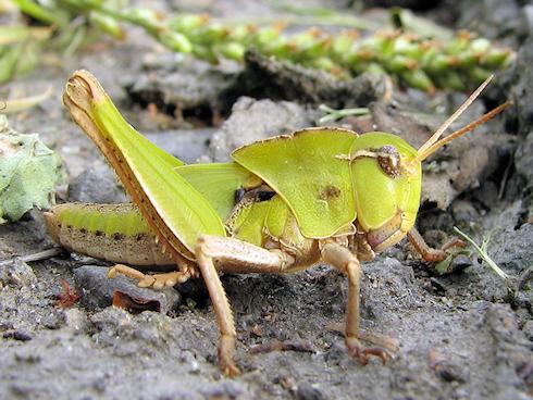 バッタの幼虫