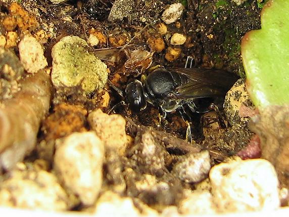 ツチバチの巣穴発見