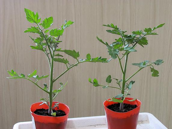 ミニトマト栽培開始