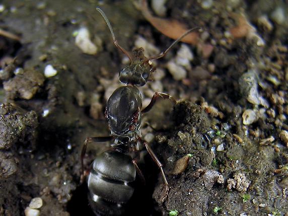 女王アリの巣作り