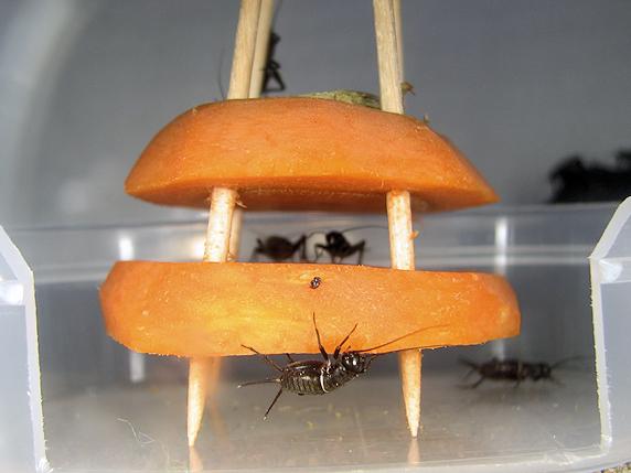 体長8mmエンマコオロギの幼虫
