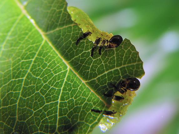 バラの葉を食べるハバチの幼虫