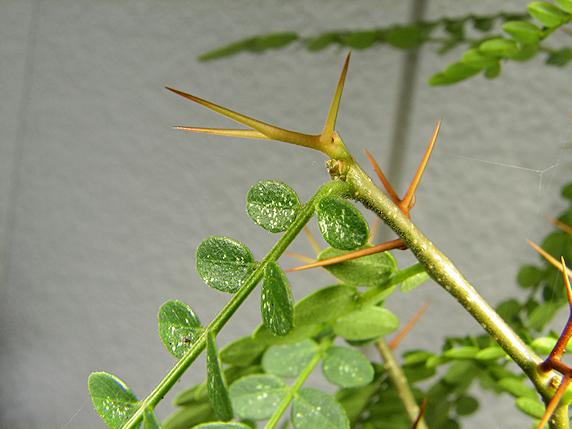 トウサイカチという木