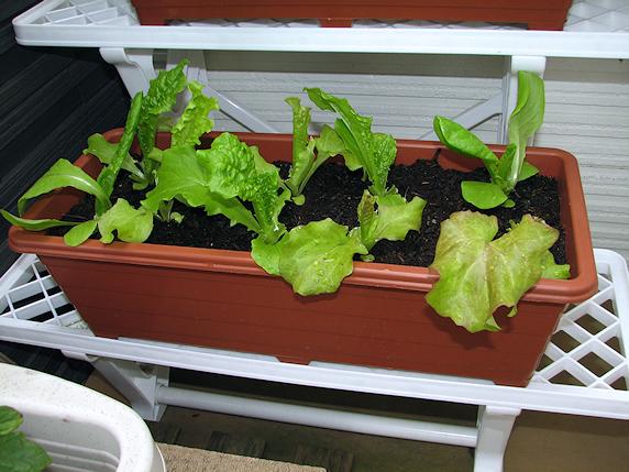 サラダミックスの収穫