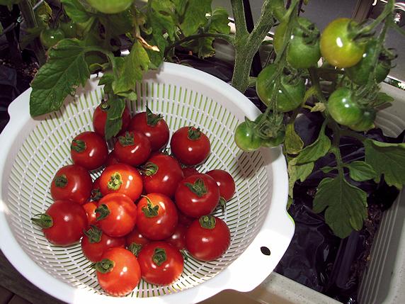 ミニトマト28個を収穫