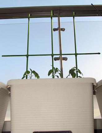トウガラシの苗の定植