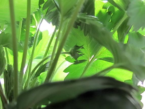 ワイルドストロベリーに花芽登場