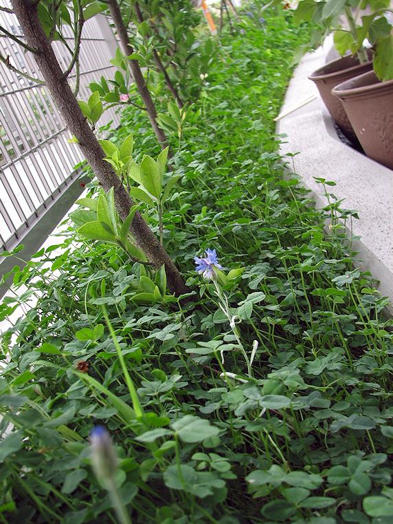 矮性ゴデチア開花