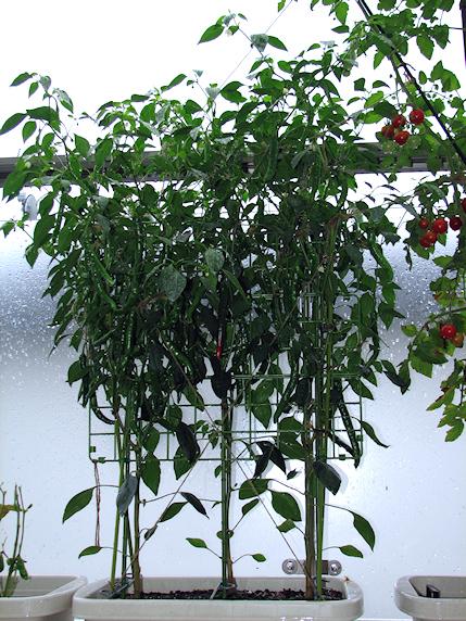 ミニトマト30個収穫