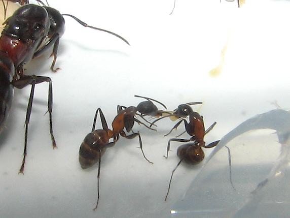 昆虫を食べるムネアカオオアリ