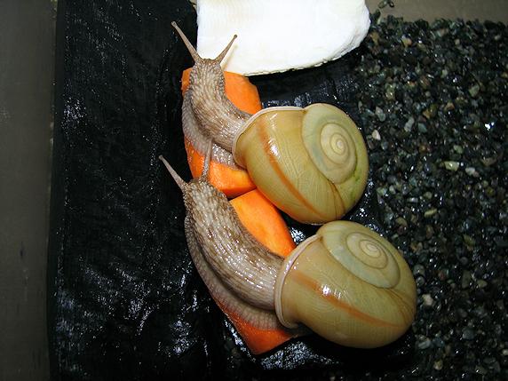 筋有りペア組の初産卵