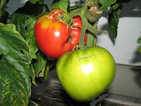 トマトの初収穫