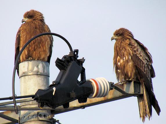 2羽のトビ