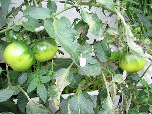 挿し芽トマトの葉に病気発生