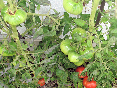 上から見たトマトの現状