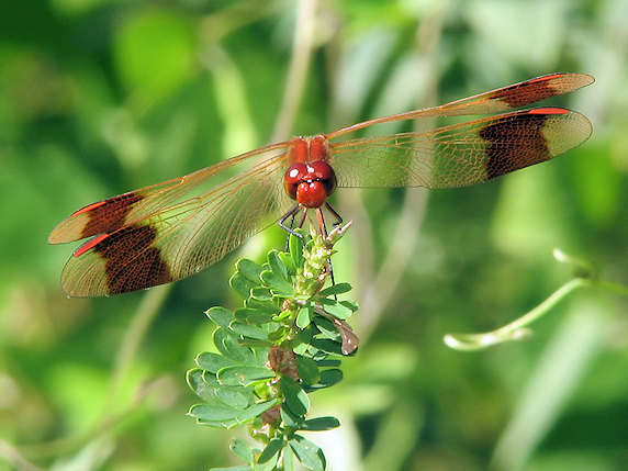 羽根まで真っ赤なミヤマアカネ