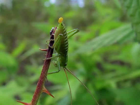 ヤマブキの花びらを食べるヤブキリの幼虫