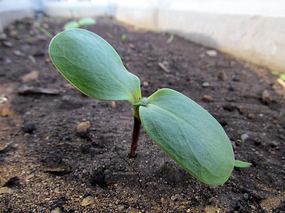 ヒマワリ定植