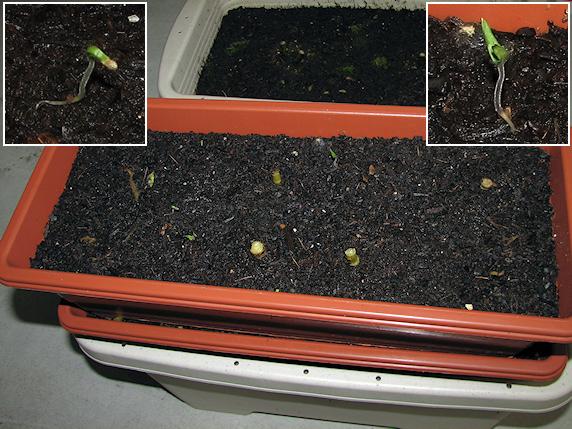 想定外のミニトマトの発芽