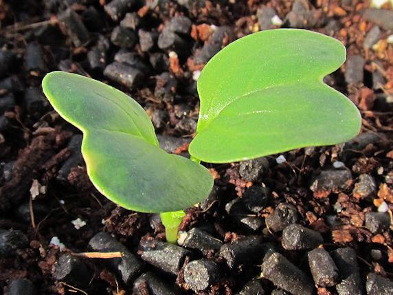 葉大根もベランダ菜園