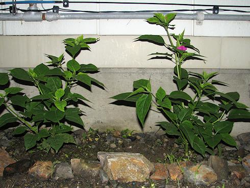 地植えのオシロイバナも開花