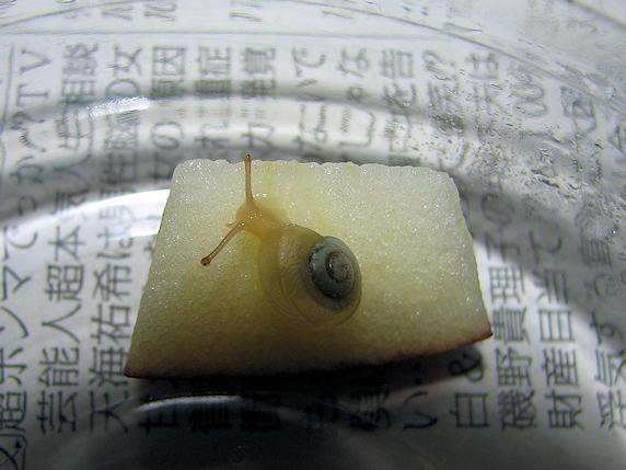リンゴを食べるカタツムリ