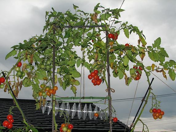 ミニトマトが一夜にして100個以上落果