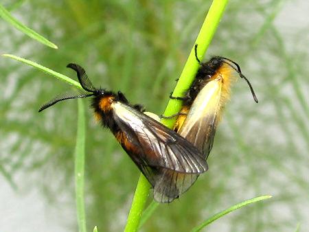写真館-交尾するミノウスバ