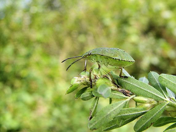 エゾアオカメムシの成虫と幼虫