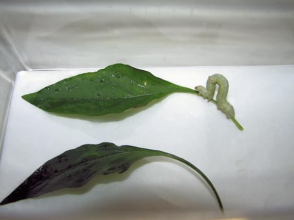 ベランダ菜園にヨモギエダシャクの幼虫襲来