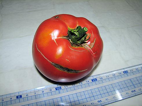 完熟トマトの収穫