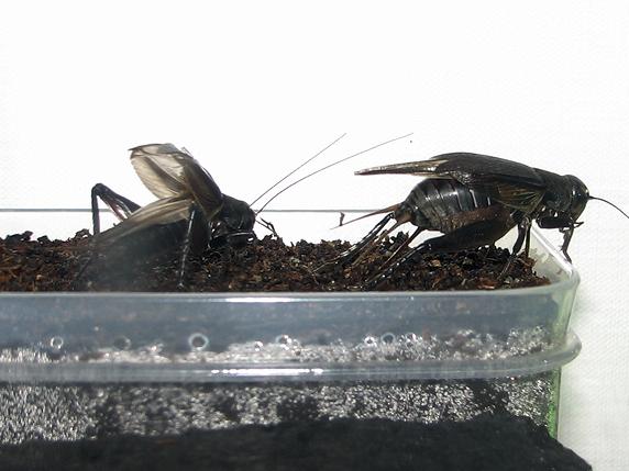 エンマコオロギの産卵