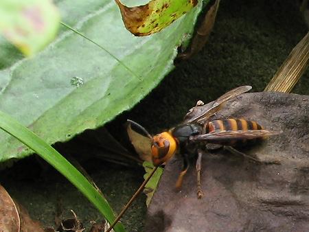 またもやスズメバチ来襲!