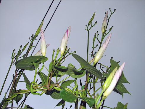 明日もいっぱい咲きそうなヘブンリーブルー