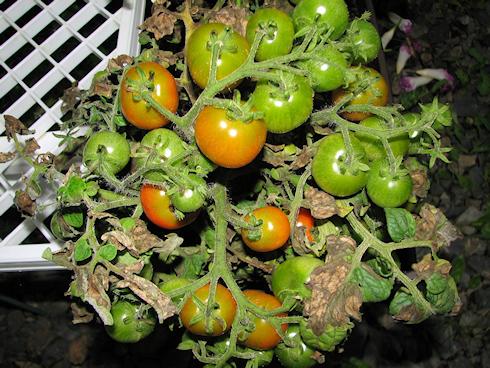 枯れかかる矮性ミニトマト