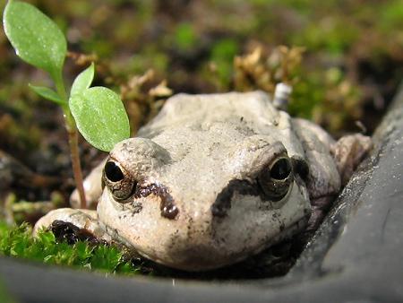 苔が大好きなカエル