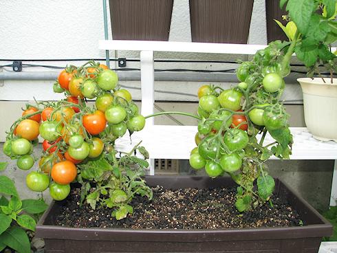 枯葉を整えた矮性ミニトマト
