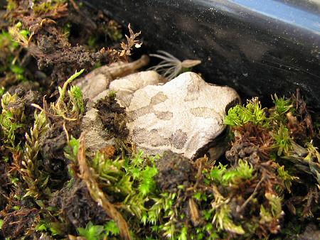 苔にもぐるカエル