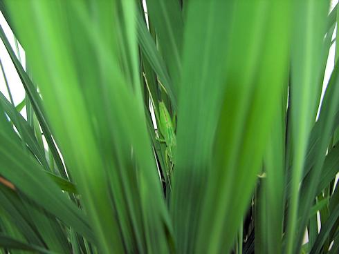 バケツ稲に害虫出現