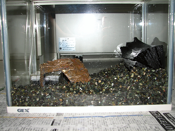 サワガニの水槽掃除