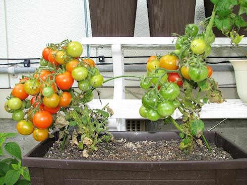 矮性ミニトマトの収穫