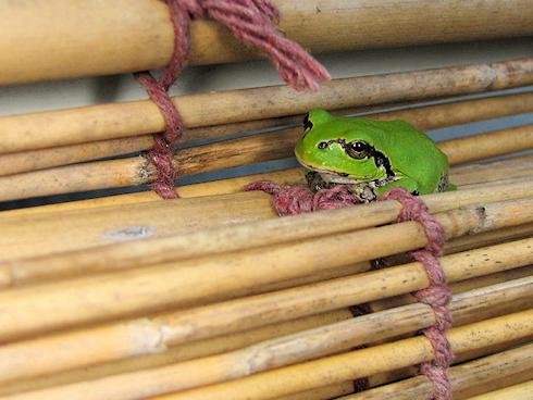定位置のカエル